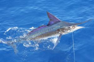 Stripe_marlin_right_off_the_coast_of_Carrillo